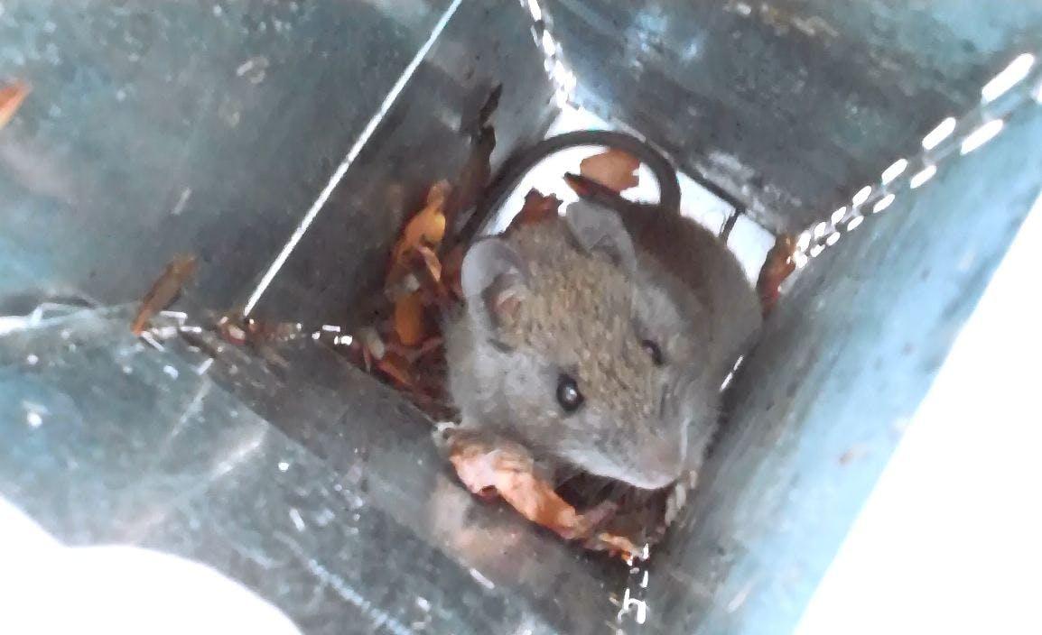 Bush Rat (Rattus fuscipes)