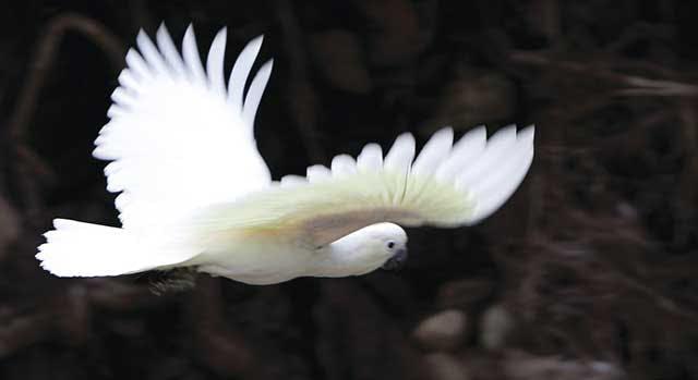 Sulphur crested white cockatoo