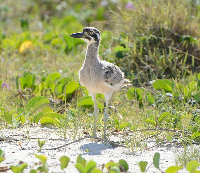 Critically endangered Beach Stone-curlew chick at Cudgera Creek Park, Hastings Point in 2018. It was the first time Council recorded the species breeding in the Tweed.