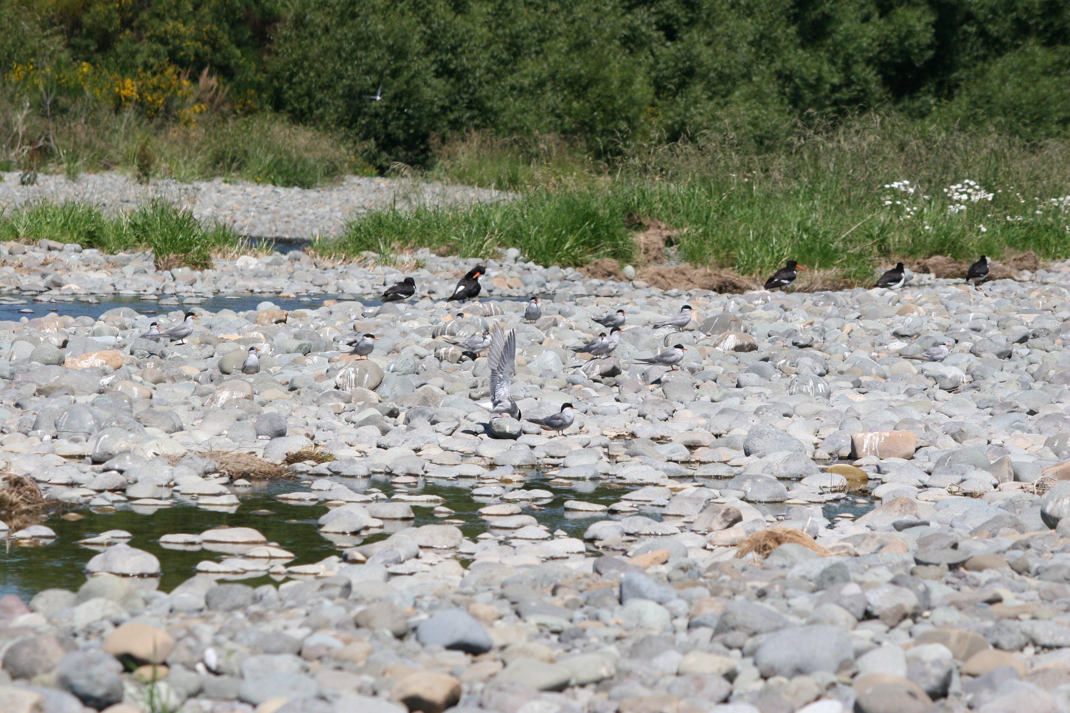 Birds on braided river, Aparima River
