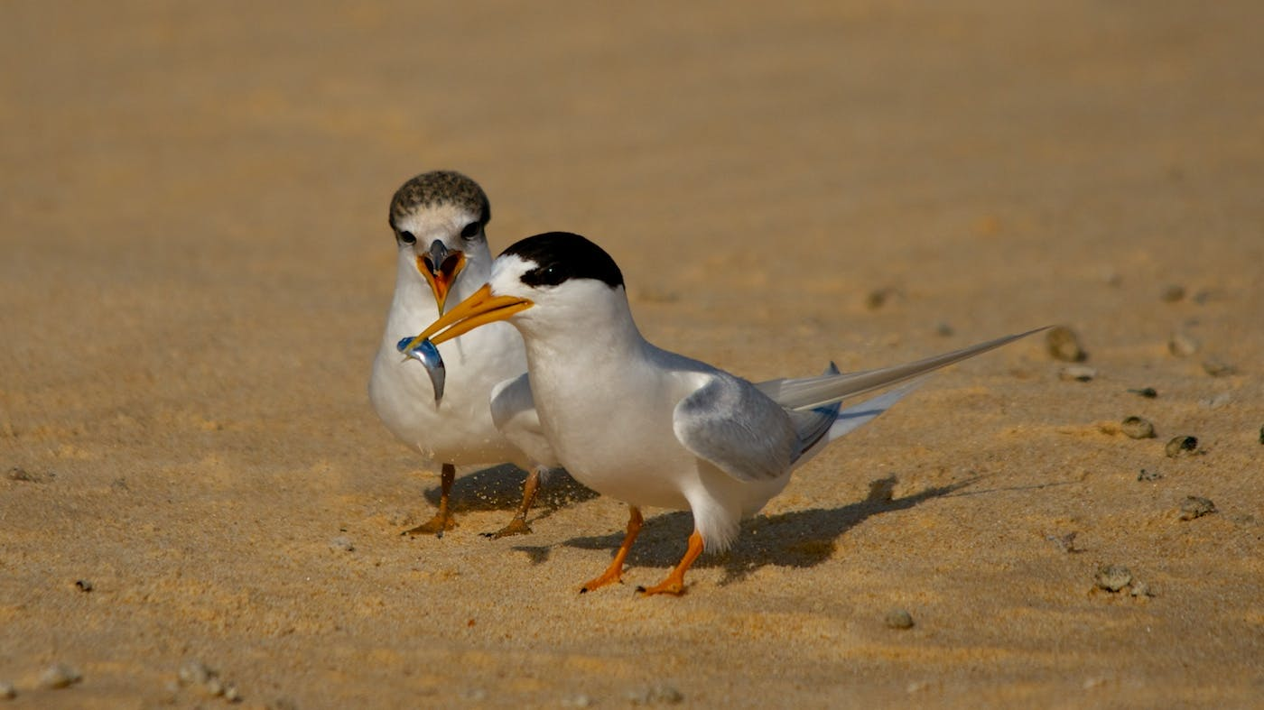 Fairy tern feeding chick. Photo: J Cornish.