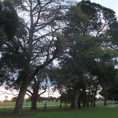 Lucindale Pine Trees 1