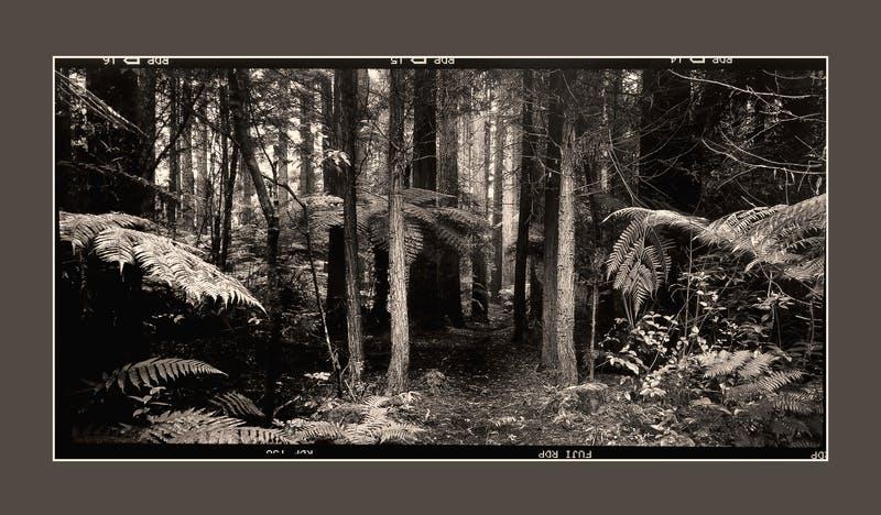 #81 Redwoods
