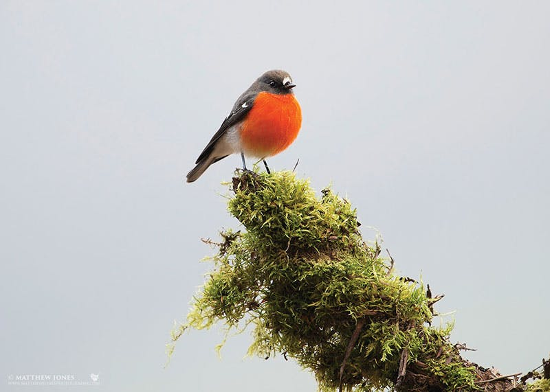 A flame robin project is funded as part of Saving our Species. Photo credit: M Jones www.matthewjonesphotography.com.