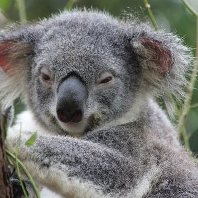 2012 2 Koala Conservation