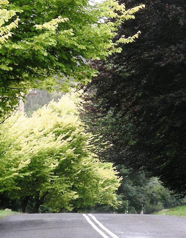 Purple Beech Golden Elm