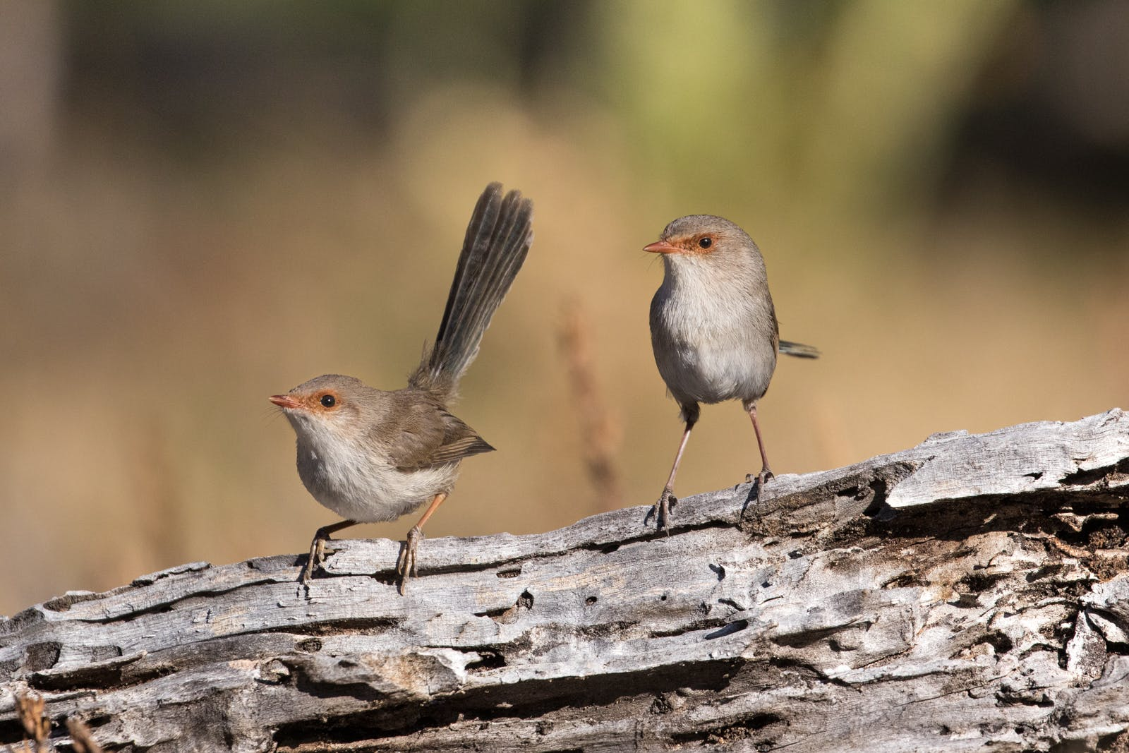 Superb Fairy Wren.jpg
