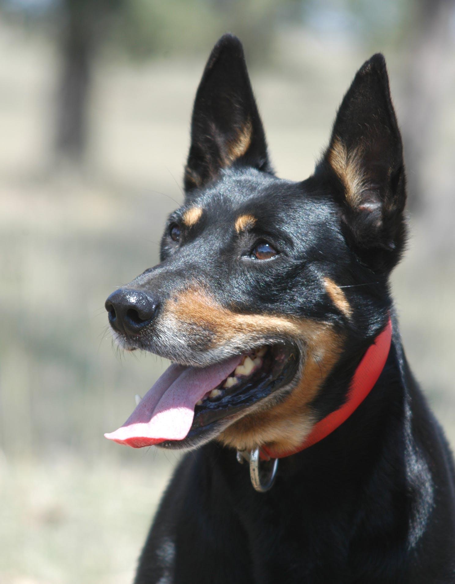 Feb+07+Kelpie+dog+with+ears+up