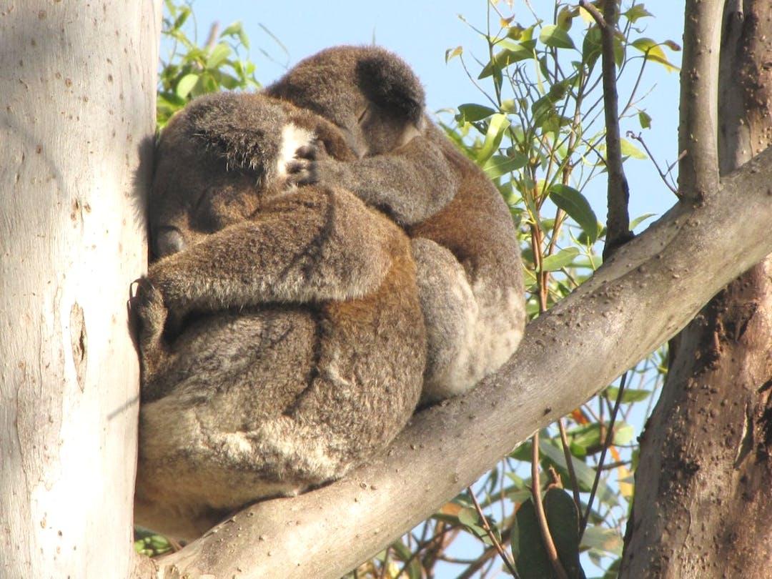 Tweed Coast Comprehensive Koala Plan of Management