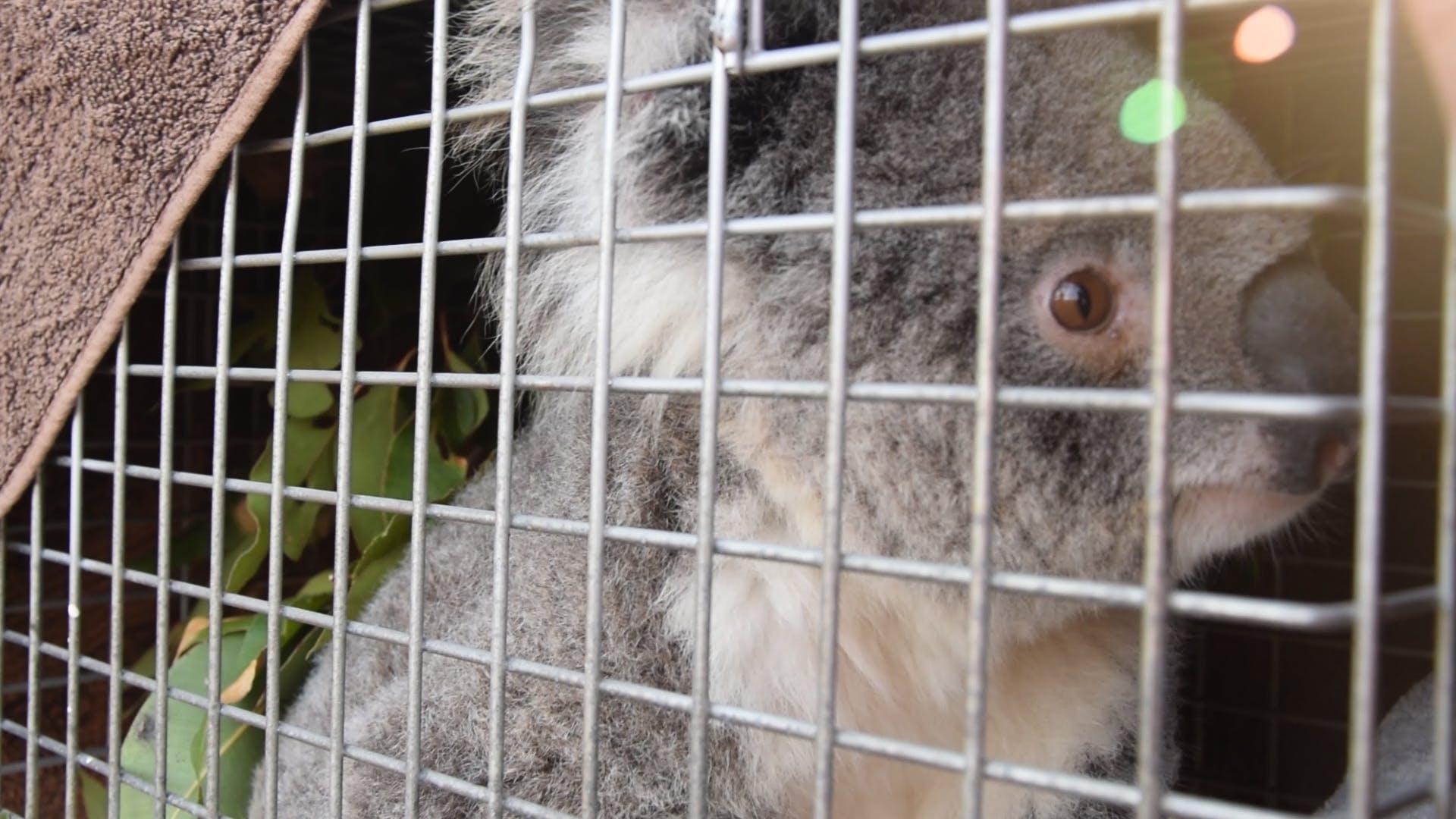Miss Starry koala release (Image: Caragh Heenan)
