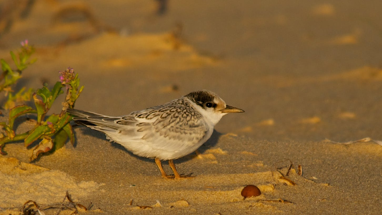 Little tern fledgling. Photo: J Cornish.