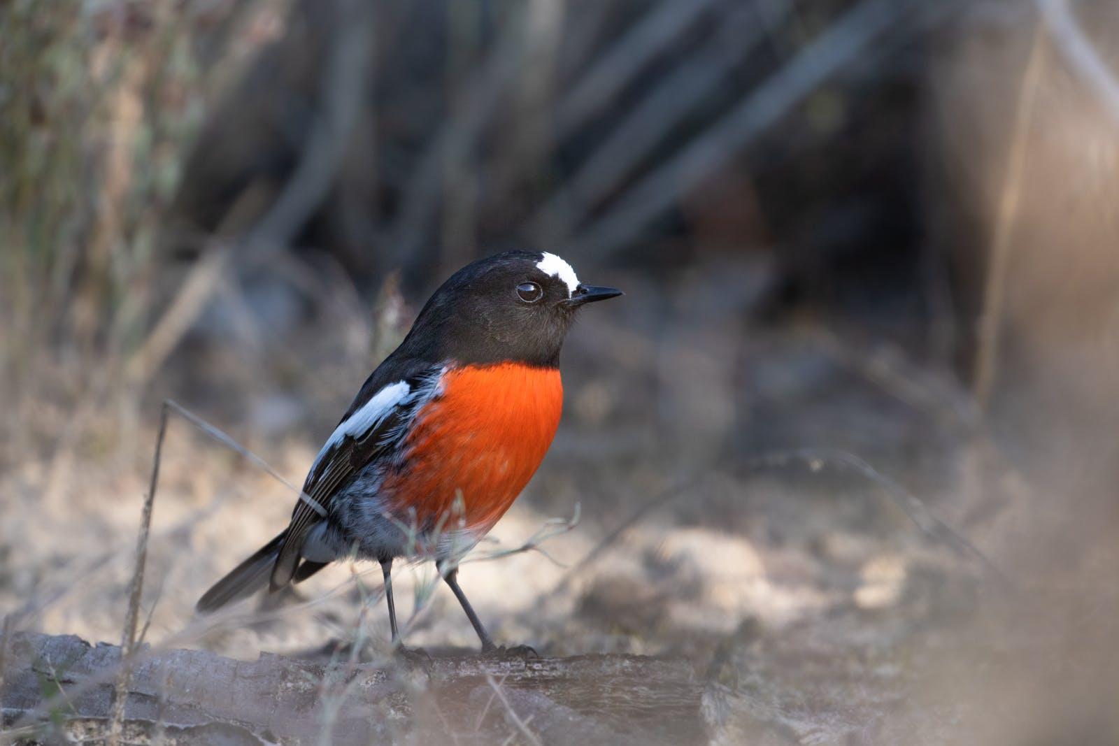 Scarlet Robin.jpg