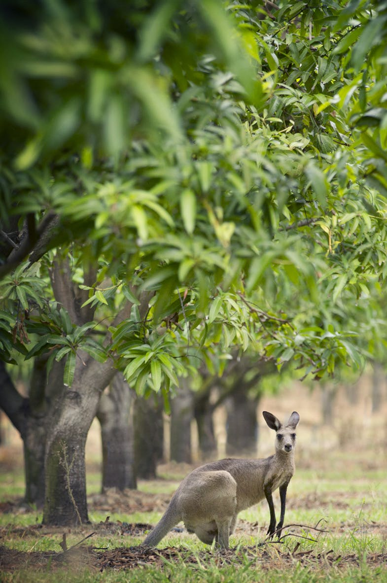 Bowen Mango Trees and Wallabies