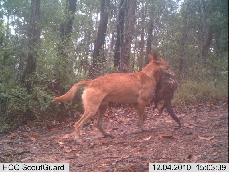 Wild dogs: impact on domestic and native animals