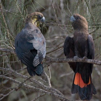 Glossy black cockatoos (Calyptorhynchus lathami). Photo: Michael Todd/OEH