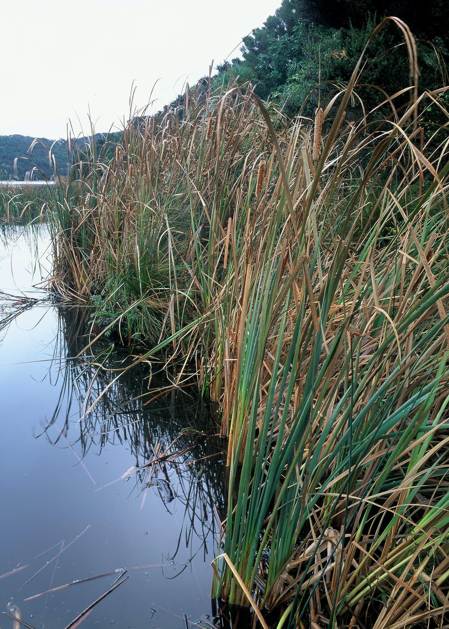 Raupo At Water's Edge
