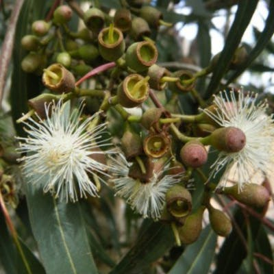 Corymbia Mac (Flower Seed)