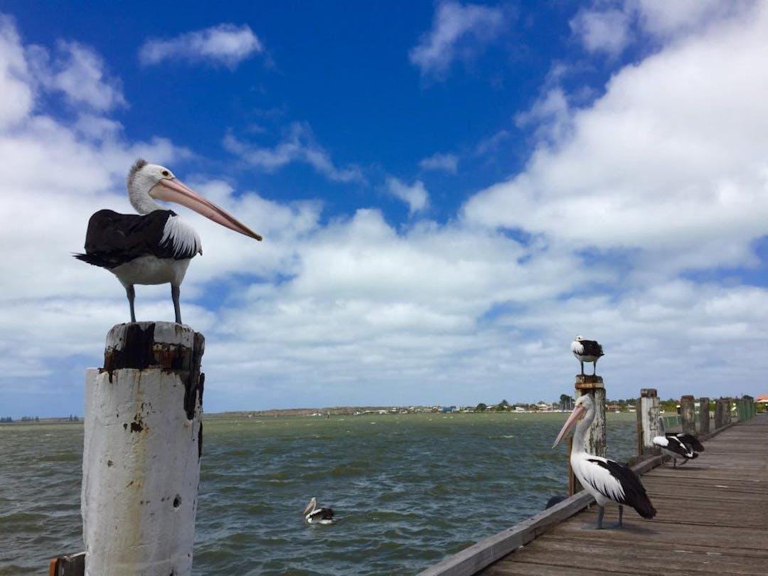 04.02.2016 pelican by amanda