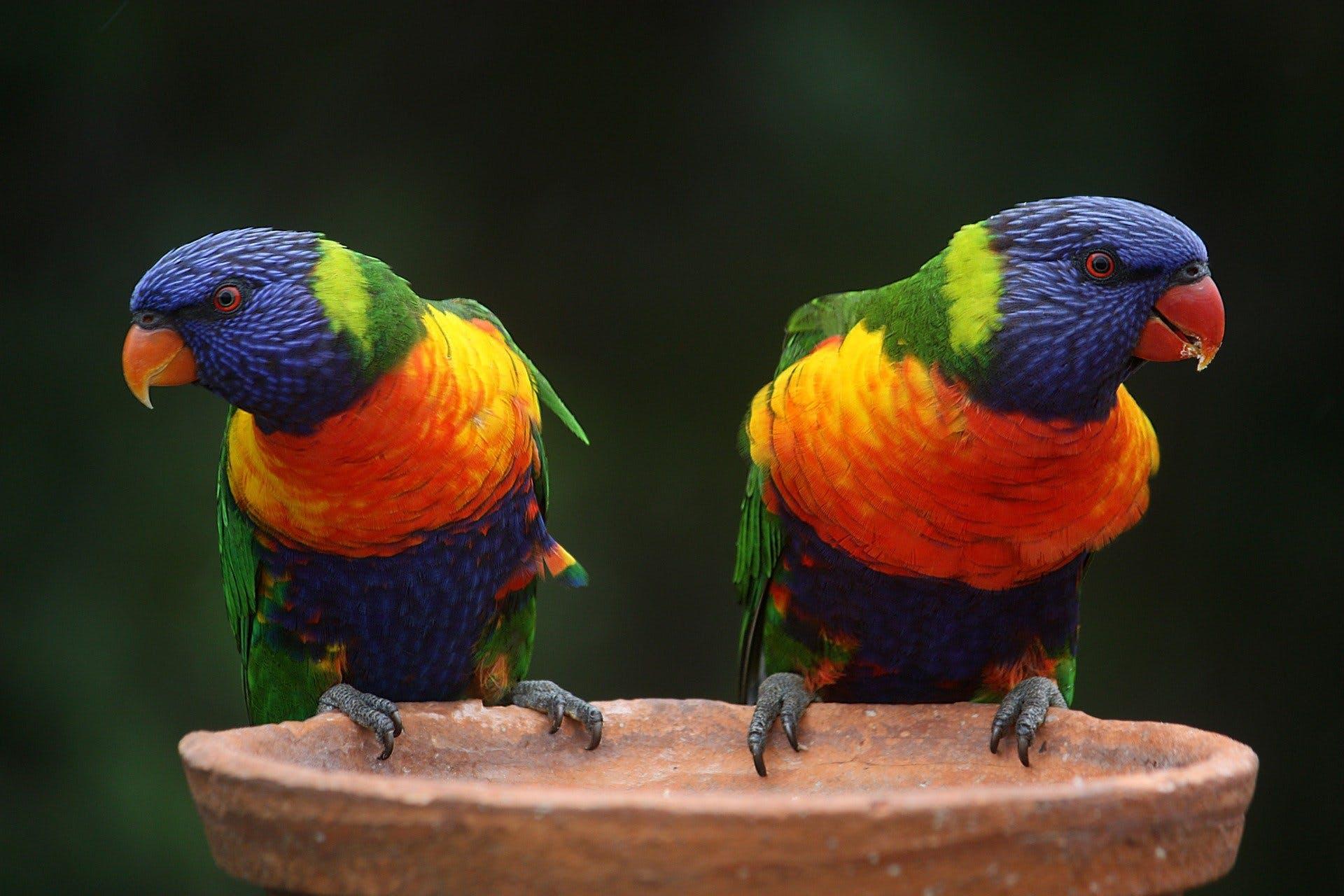 rainbow-lorikeets.jpg